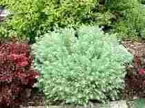 ornamental wormwood lends