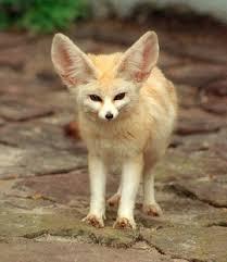 إليكم صور الحيوان الدي تشتهر به الجزائر وهو رمز لها Fenec