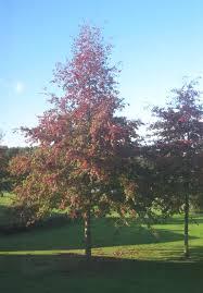 Quercus palustris /