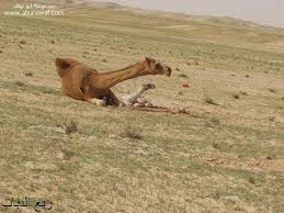 صور جمل من ملك روحي  Camel10
