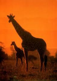 external image giraffe.jpg