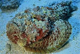 scorpion fish pictures