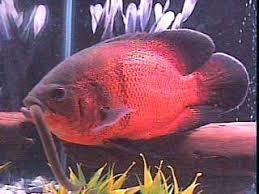 ماهی اسکار بومی آمازون