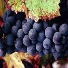 Kara üzüm cilt sağlığı için faydaları yararları