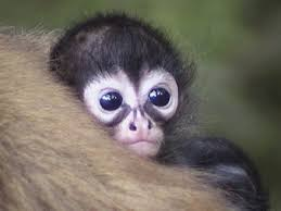 Black Spider Monkey babies are