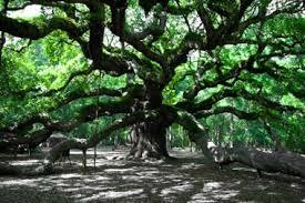 Photo of ancient live oak tree