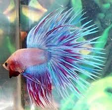 un achat + ou - impulsif : betta splendens dans aquarium Betta_Splendens