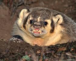 main demand for badger fur