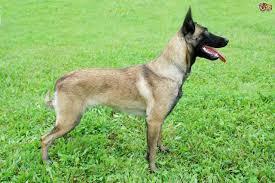 belgian shepherd nc belgian shepherd malinois dog puppy dog gallery