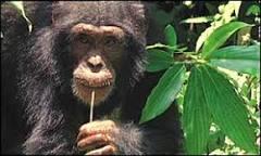 Gene pode explicar diferença entre homens e macacos | BBC Brasil ...