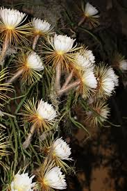 Large-flowered cactus