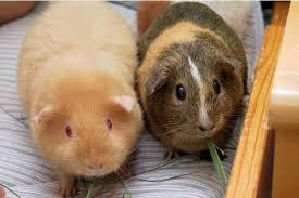 Какое лучше животное завести: морскую свинку или крысу?