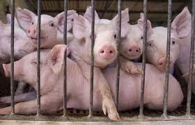 pig piggery farming business plan feasibility studies Nigeria proposal