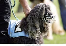 afghan hound long haired dogs afghan hound racing stock photos u0026 afghan hound racing stock