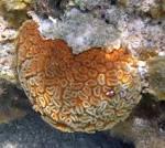 Image result for Dichocoenia stokesii