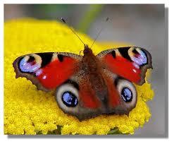 تعرف انواع الفراشات 2015 معلومات