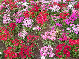 Flowers Plants by The Flowering Garden Is An Online Garden Of Flowers Plants And