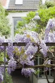 plant of the week wisteria gardenista