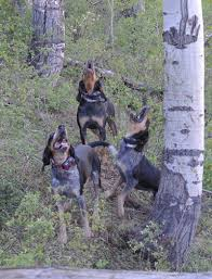 bluetick coonhound puppies for sale in ohio rocky mountain blue ticks rocky mountain blue ticks home