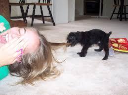 buy a affenpinscher should you get a puppy nope nateandrachael com