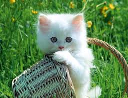 صور قطط تدحك,صور قطط,صور قطط جميلة,صور قطط حلوه Images?q=tbn:ANd9GcQ4hExDOeuaAx_Xw3kEmChWRA2MWXCPOurfCVmi7OAB0GYMAnYWOQ