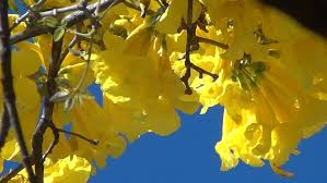 Tree With Bright Yellow Flowers - closeup of the bright yellow golden flowers and leaves of a
