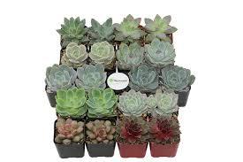 Succulents Pots For Sale by Amazon Com Shop Succulents Rosette Succulent Collection Of 20