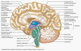 Sheep Brain Anatomy Game Human Anatomy Charts Page 54 Of 351 Inner Body Anatomy Muscle