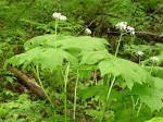 North Carolina Native Plants Society - Native Plants Gallery ...