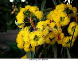 Tree With Bright Yellow Flowers - red gum tree flowers stock photos u0026 red gum tree flowers stock