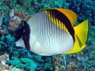 Image result for Chaetodon lineolatus