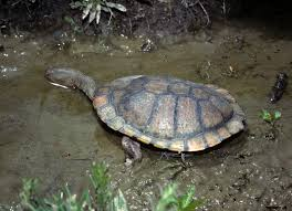 Eastern long-necked turtle