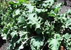 bilder und notizen]: Brassica oleracea, Helgoländer Wildkohl