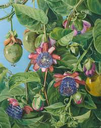 37 flowers and fruit of the maricojas passion flower brazil