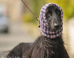 afghan hound long haired dogs afghan hound ari becomes fashion hit with tartan snood daily