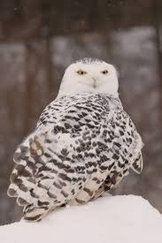 nature canada u2013 who u0027s there identifying owl calls