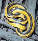 A <b>Bungarus</b> fasciatus mutation