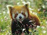 Nat Geo Adventure: red panda bear