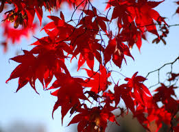 Maple Tree Symbolism by 48 Best Japanese Maples Images On Pinterest Japanese Maple Trees