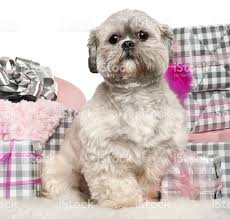 lhasa apso 2 years old sitting with christmas gifts stock photo