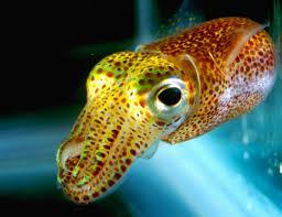 a hawaiian squid