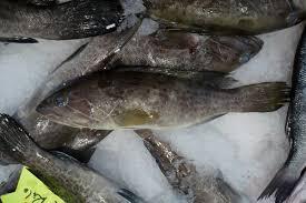White grouper
