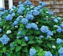 Hydrangea macrophylla Endless Summer® - White Flower Farm