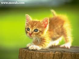 اجمل صور قطط في العالم Images?q=tbn:ANd9GcQAkyiROvr3cJ2wwftQ8Awpl_kxy-C-Wz8ckZ34GBQVqmiZ-a3J