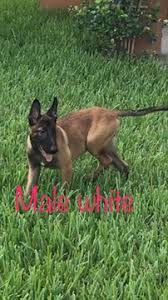 belgian sheepdog breeders in texas view ad belgian malinois puppy for sale texas mission usa