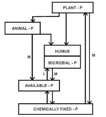 Phosphorus cycle   Homework Help   Assignment Help