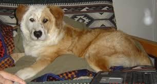 husky x australian shepherd for sale australian retriever australian shepherd golden retriever mix
