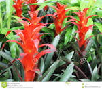 Bright Red <b>Bromelia</b> Flowers