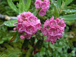 Image result for Kalmia angustifolia