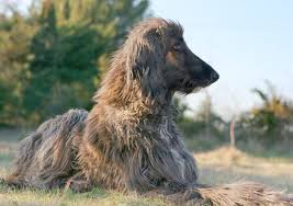 afghan hound long haired dogs how to keep an afghan hound u0027s hair from matting pets